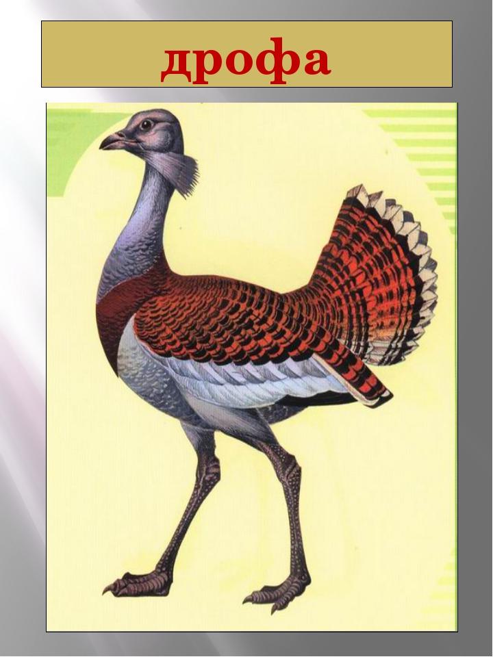 дрофа Дрофа Otis tarda Linnaeus, 1758 Класс птицы - AVES Отряд Журавлеобразны...