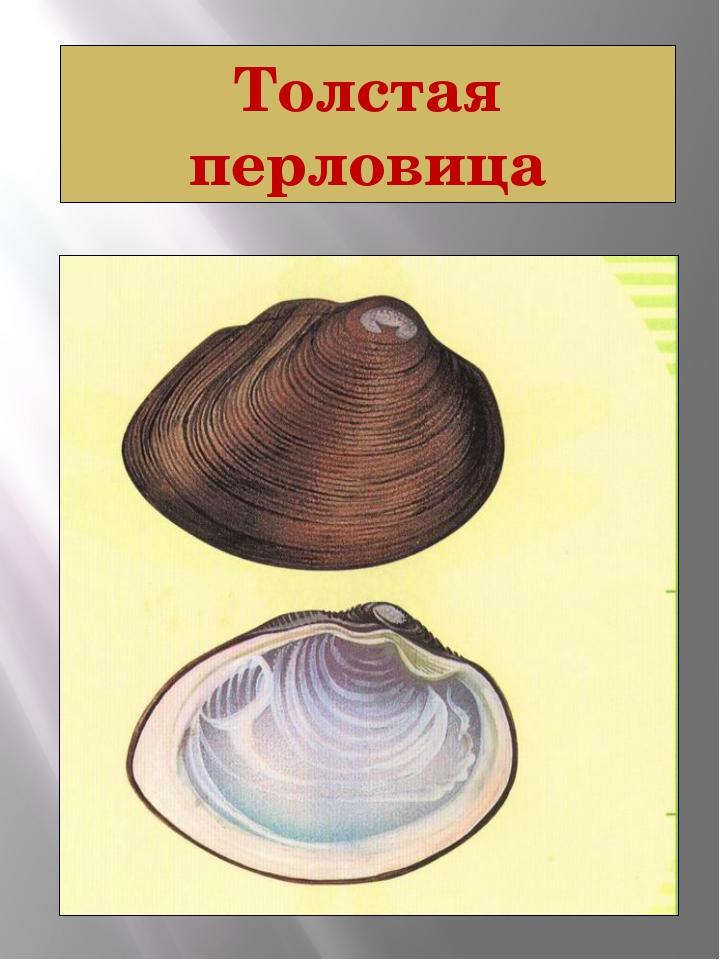 Толстая перловица Толстая перловица Crassiana crassa (Philipsson, 1788) Тип М...