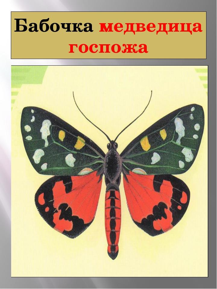 Бабочка медведица госпожа Медведица-Госпожа Callimorpha dominula Linnaeus, 17...