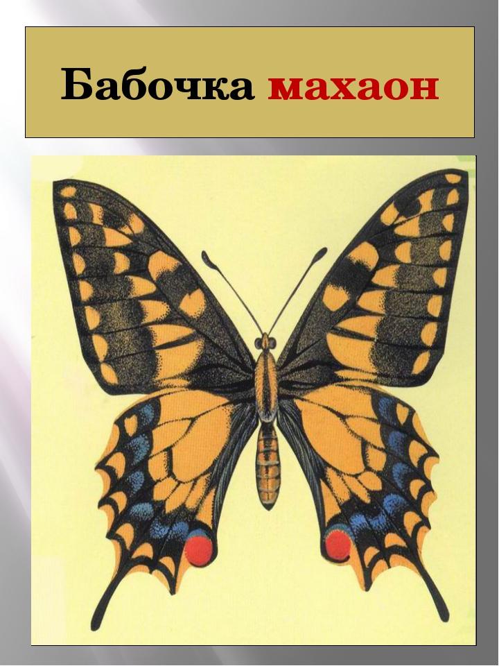 Бабочка махаон МАХАОН Papilio machaon (Linnaeus, 1758) Класс Насекомые - INSE...