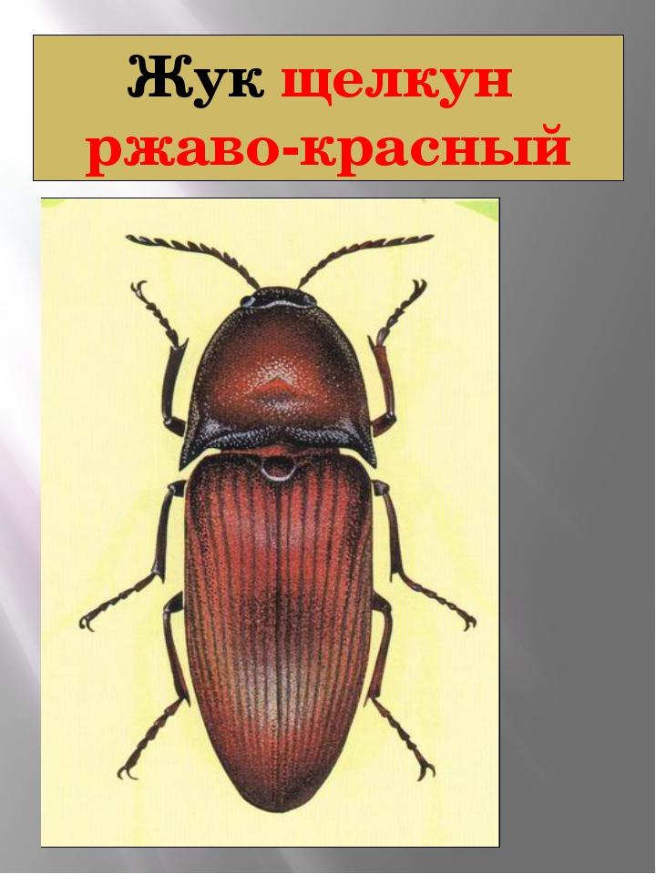 Жук щелкун ржаво-красный Щелкун ржаво-красный Elater ferrugineus Linnaeus, 17...