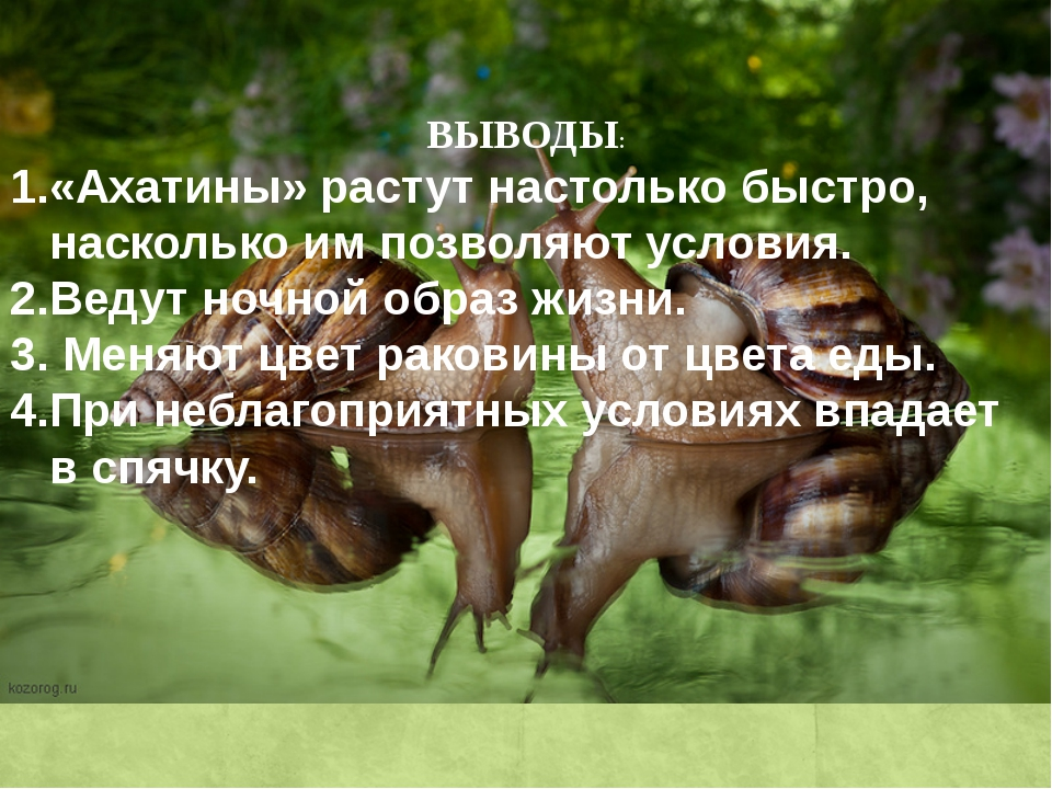 ВЫВОДЫ: 1.«Ахатины» растут настолько быстро, насколько им позволяют условия....