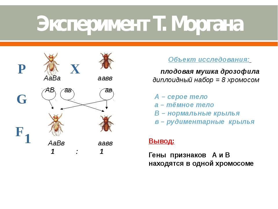 Объект исследования: плодовая мушка дрозофила диплоидный набор = 8 хромосом...