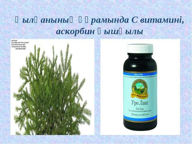 Қылқанының құрамында С витамині, аскорбин қышқылы