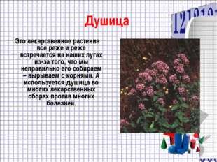 Душица Это лекарственное растение все реже и реже встречается на наших лугах