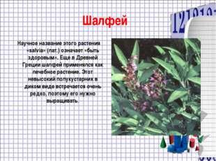 Шалфей Научное название этого растения «salvia» (лат.) означает «быть здоровы