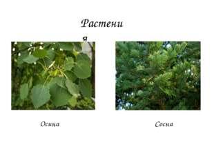 Растения Осина Сосна