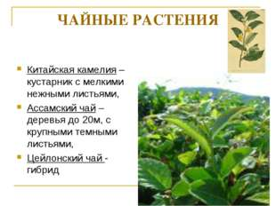 ЧАЙНЫЕ РАСТЕНИЯ Китайская камелия – кустарник с мелкими нежными листьями, Асс