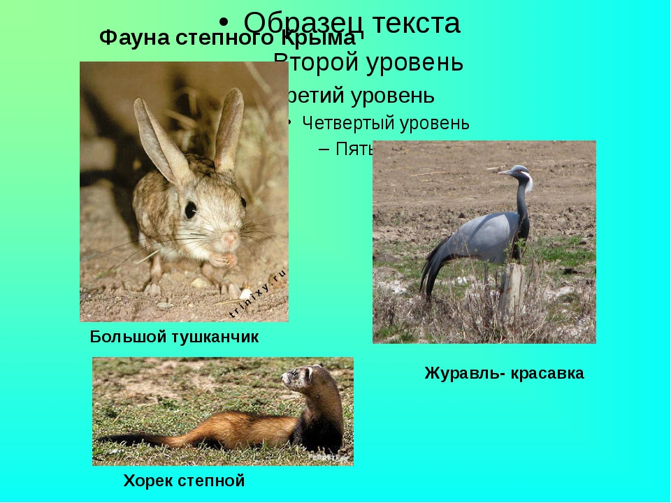 Фауна степного Крыма Журавль- красавка Хорек степной Большой тушканчик