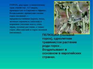 ГОРОХ, род одно- и многолетних трав семейства . 6-7 видов, произрастает в Евр