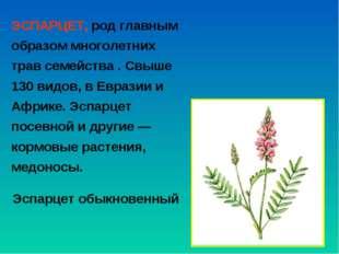 ЭСПАРЦЕТ, род главным образом многолетних трав семейства . Свыше 130 видов, в