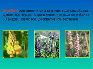 ЛЮПИН, род одно- и многолетних трав семейства . Около 100 видов. Выращивают п