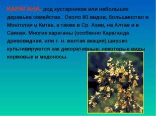 КАРАГАНА, род кустарников или небольших деревьев семейства . Около 80 видов,