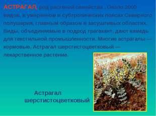 АСТРАГАЛ, род растений семейства . Около 2000 видов, в умеренном и субтропиче