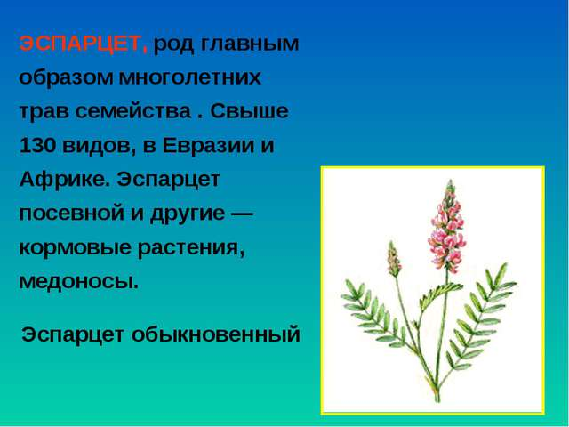 ЭСПАРЦЕТ, род главным образом многолетних трав семейства . Свыше 130 видов, в...