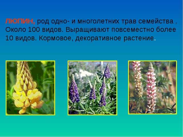 ЛЮПИН, род одно- и многолетних трав семейства . Около 100 видов. Выращивают п...