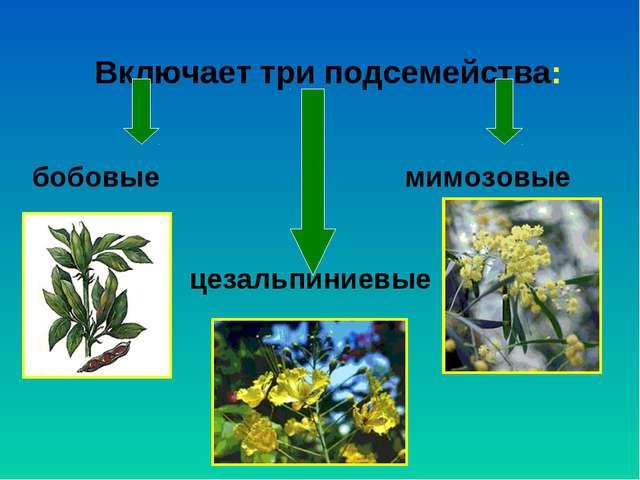 Включает три подсемейства: бобовые мимозовые цезальпиниевые