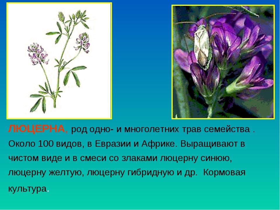 ЛЮЦЕРНА, род одно- и многолетних трав семейства . Около 100 видов, в Евразии...