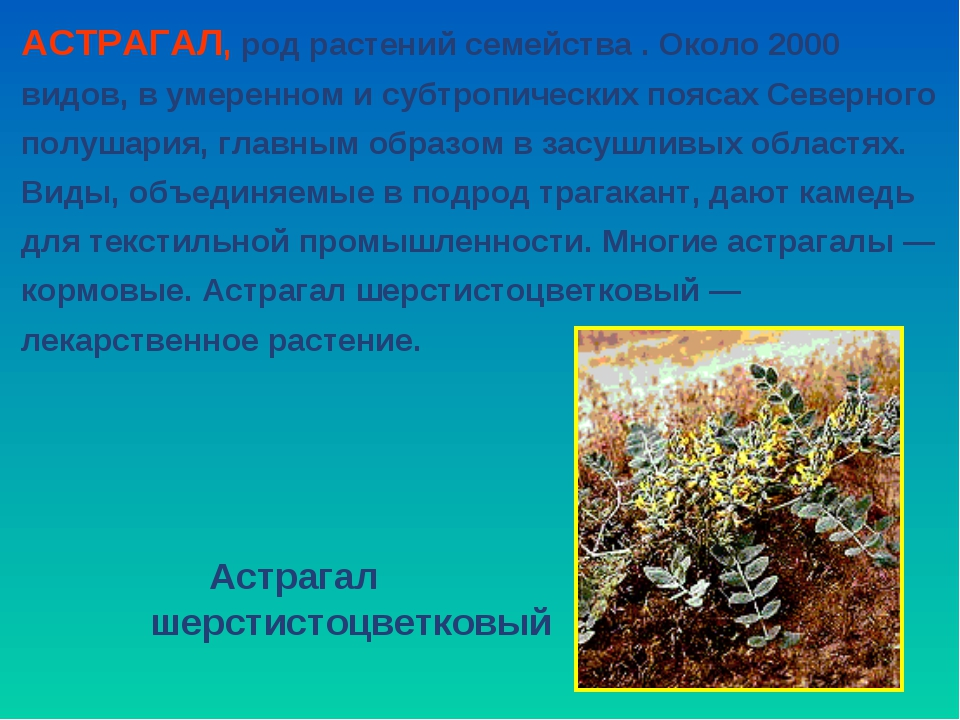 АСТРАГАЛ, род растений семейства . Около 2000 видов, в умеренном и субтропиче...