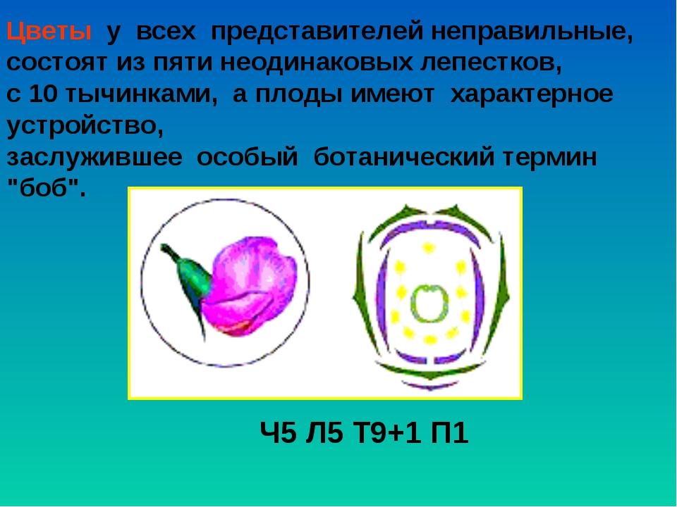 Цветы у всех представителей неправильные, состоят из пяти неодинаковых леп...