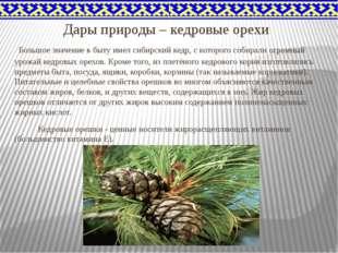 Дары природы – кедровые орехи Большое значение в быту имел сибирский кедр, с