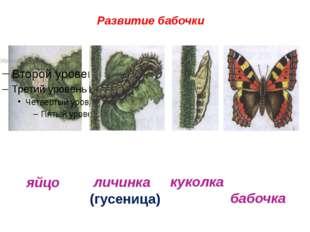 Развитие бабочки яйцо личинка (гусеница) куколка бабочка