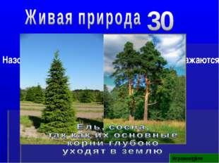 Игровое поле Назовите деревья, которые чаще других поражаются молнией, почему?