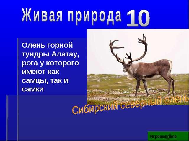 Игровое поле Олень горной тундры Алатау, рога у которого имеют как самцы, так...