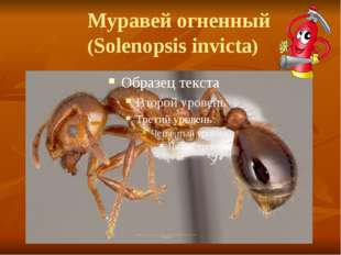 Муравей огненный (Solenopsis invicta)