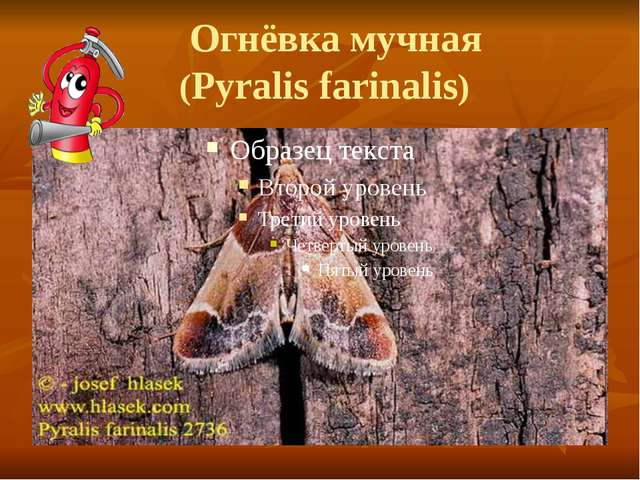 Огнёвка мучная (Pyralis farinalis)