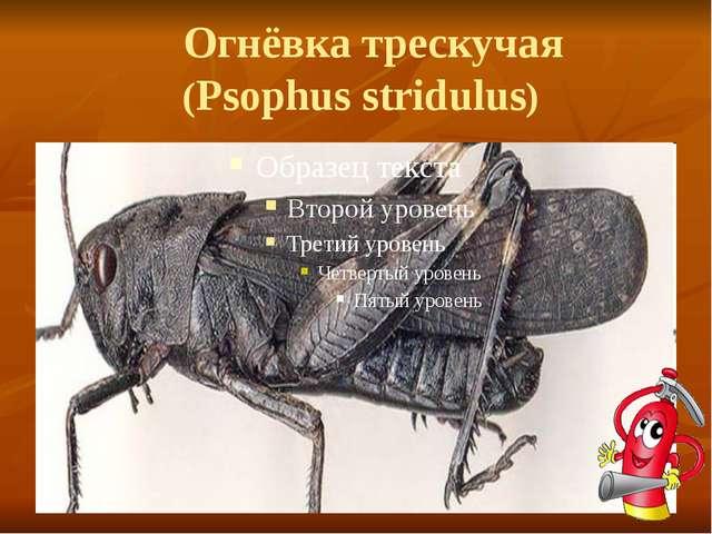 Огнёвка трескучая (Psophus stridulus)