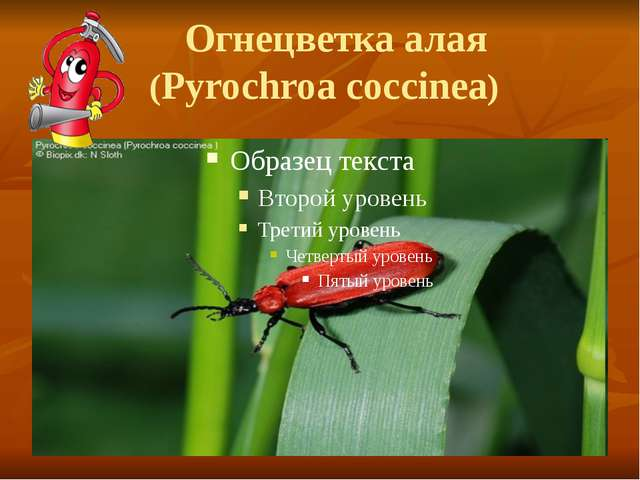 Огнецветка алая (Pyrochroa coccinea)