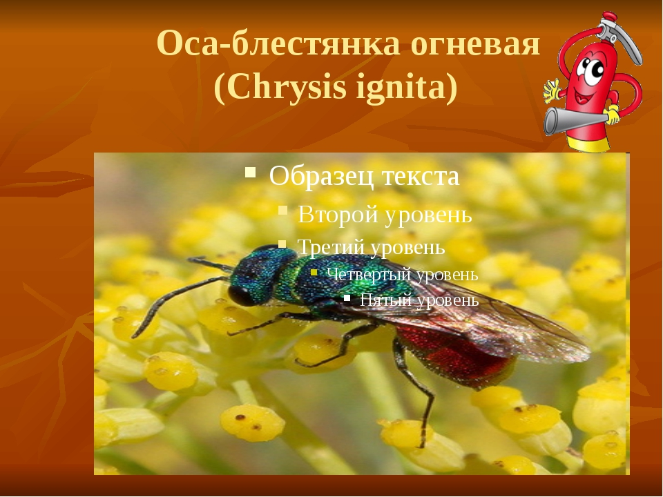 Оса-блестянка огневая (Chrysis ignita)