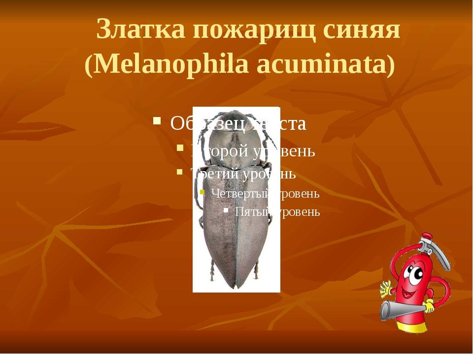 Златка пожарищ синяя (Melanophila acuminata)