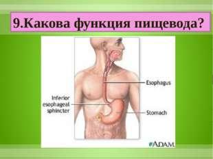 9.Какова функция пищевода?