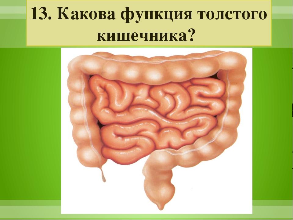 13. Какова функция толстого кишечника?