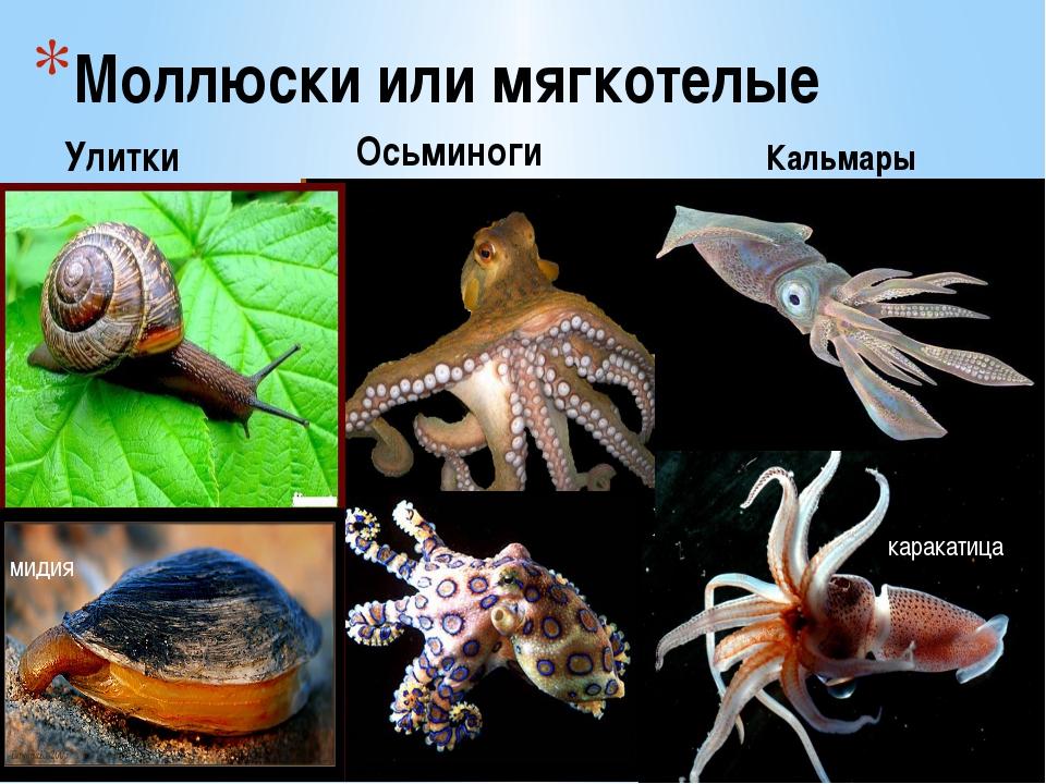 Моллюски или мягкотелые Улитки Осьминоги Кальмары мидия каракатица