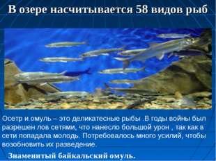 В озере насчитывается 58 видов рыб Знаменитый байкальский омуль. Фото К. Дор