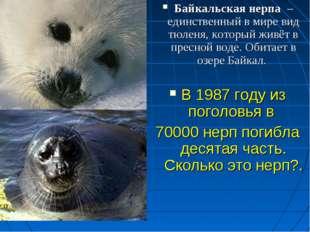Байкальская нерпа – единственный в мире вид тюленя, который живёт в пресной в