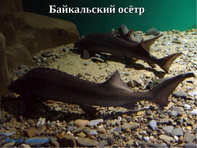 Байкальский осётр Фото К. Дорофеева
