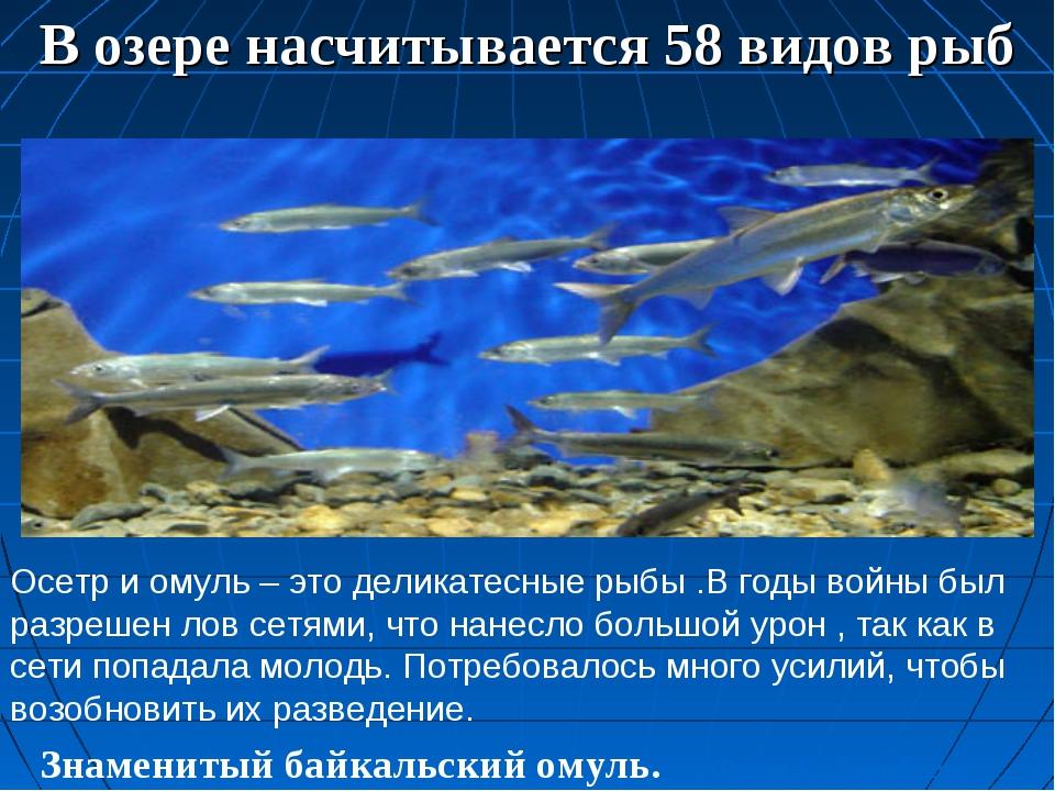 В озере насчитывается 58 видов рыб Знаменитый байкальский омуль. Фото К. Дор...