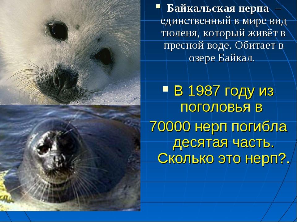 Байкальская нерпа – единственный в мире вид тюленя, который живёт в пресной в...