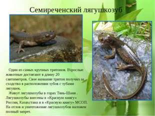 * Семиреченский лягушкозуб Один из самых крупных тритонов. Взрослые животные