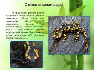 * В предгорных районах Карпат встречается пятнистая или огненная саламандра.