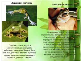 Летающая лягушка * Заботливая лягушка Немедленно после откладки яиц взрослая