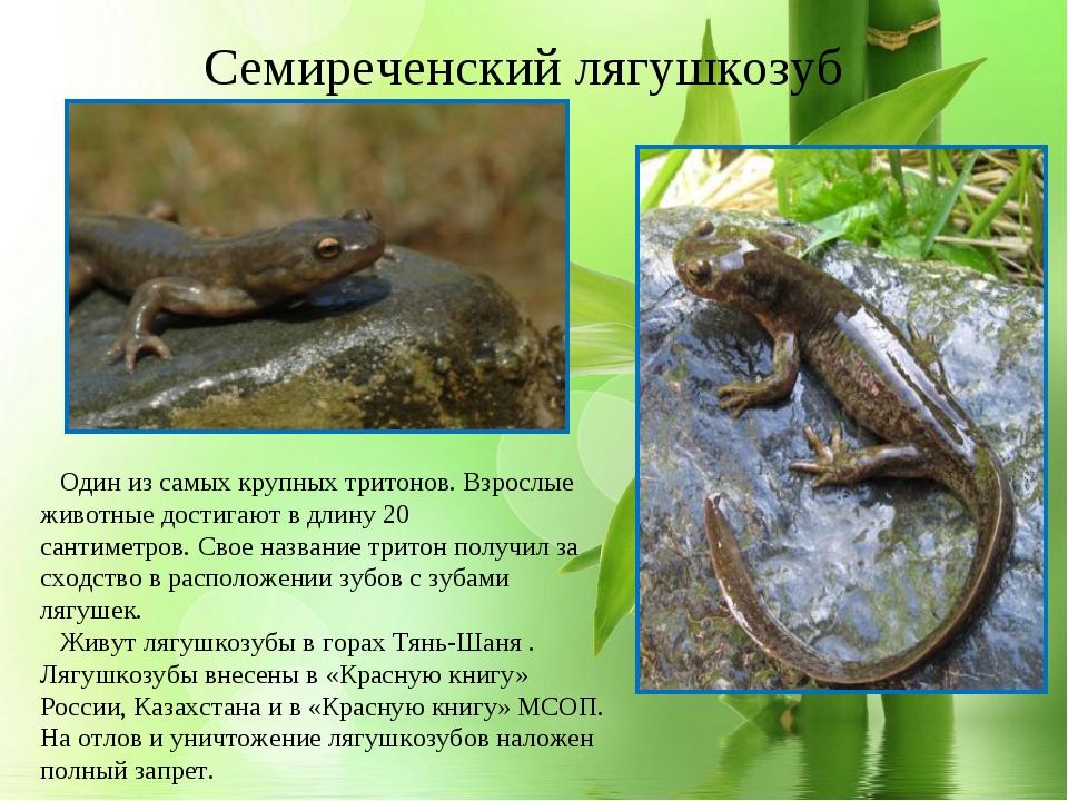 * Семиреченский лягушкозуб Один из самых крупных тритонов. Взрослые животные...
