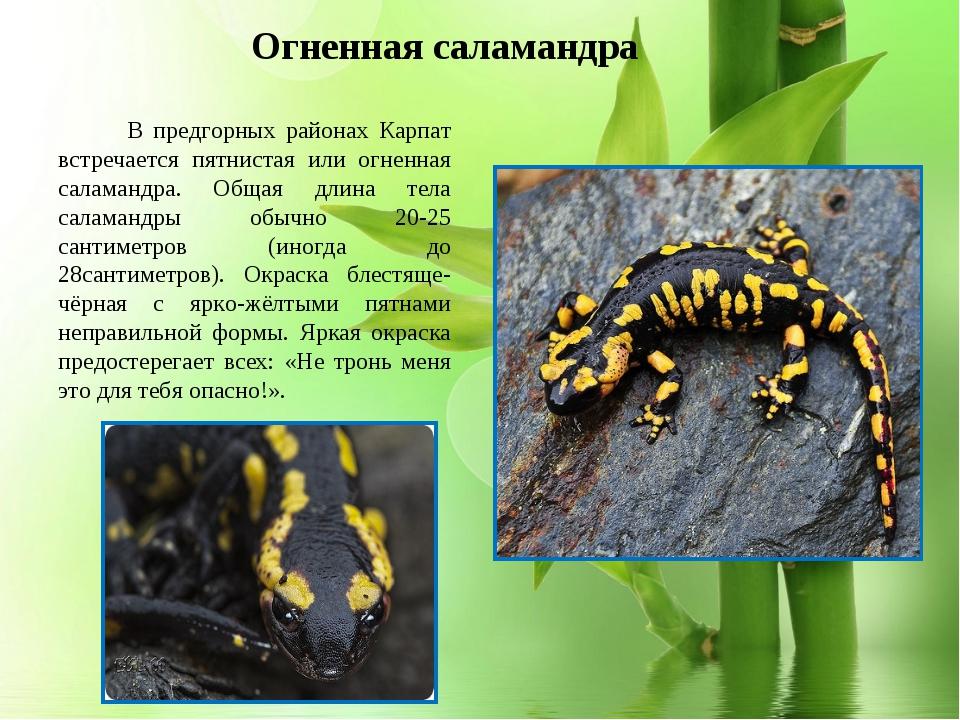 * В предгорных районах Карпат встречается пятнистая или огненная саламандра....