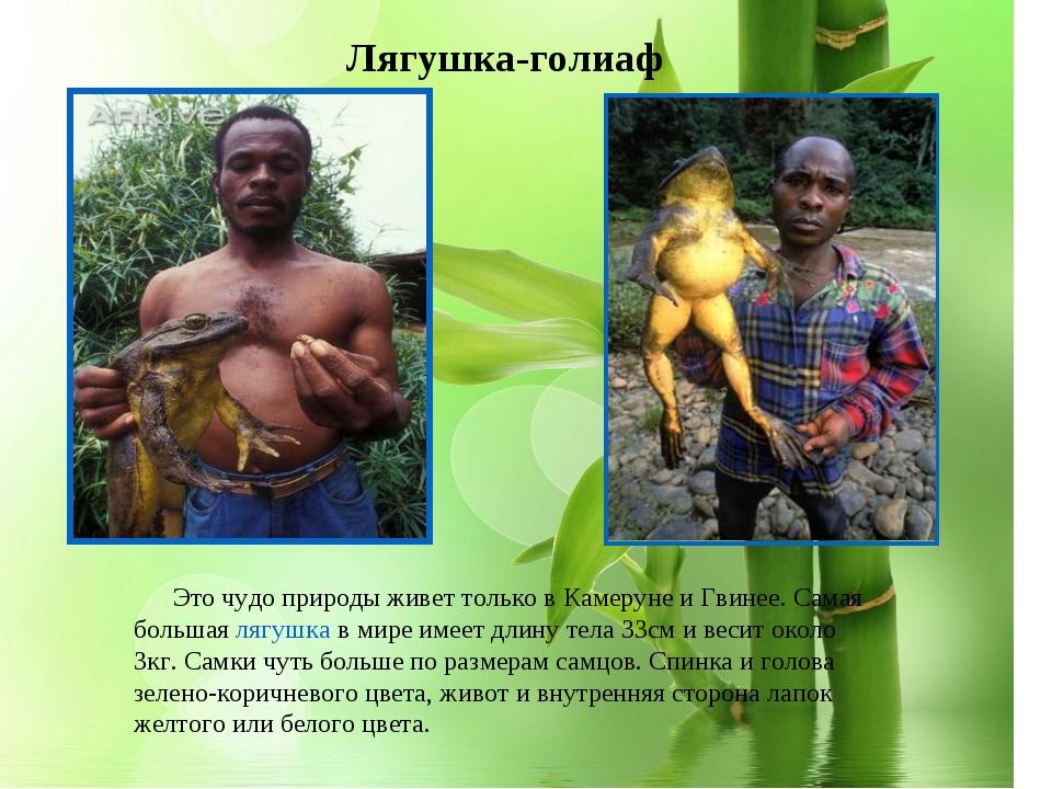 * Лягушка-голиаф Эточудо природыживет только в Камеруне и Гвинее. Самая бол...