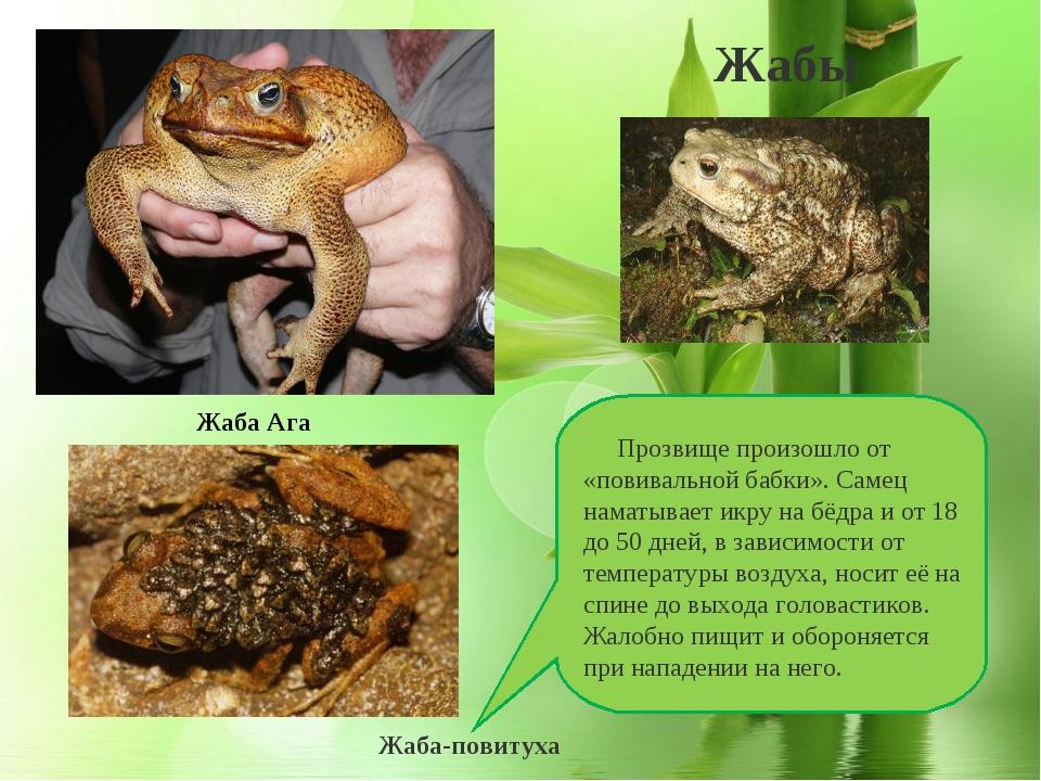 Жаба повитуха (alytes obstetricans)