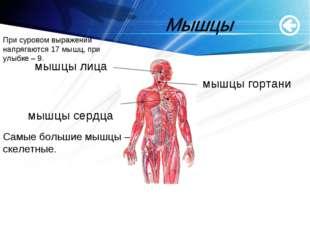 www.themegallery.com мышцы лица мышцы гортани мышцы сердца Самые большие мышц